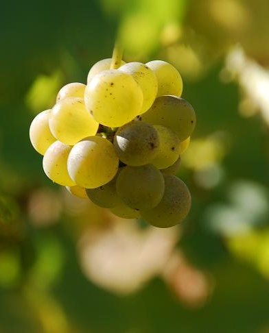 chardonnay - puligny-montrachet