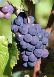 Pinot noir de la Montagne de Reims, à maturité - Copyright Quitou