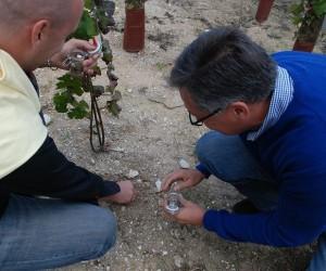 La craie dans le sol de la Montagne de Reims en Champagne, un facteur qualitatif essentiel