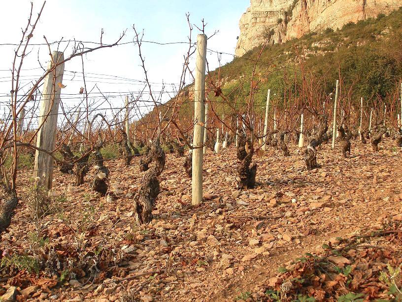 Chardonnay sur calcaires de la roche de Vergisson dans le Mâconnais